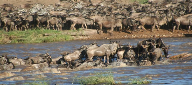 serengeti wildebeest crossing the river